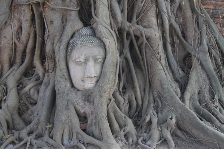 La tête de Bouddha, coupée d'une statue lors de l'invasion Birmane, miraculeusement enfouie dans les racines d'un arbre.
